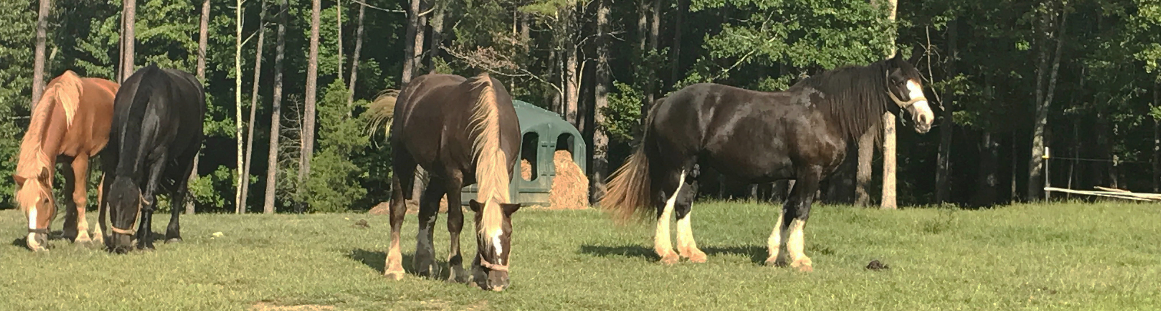 drafthorsesgrazing